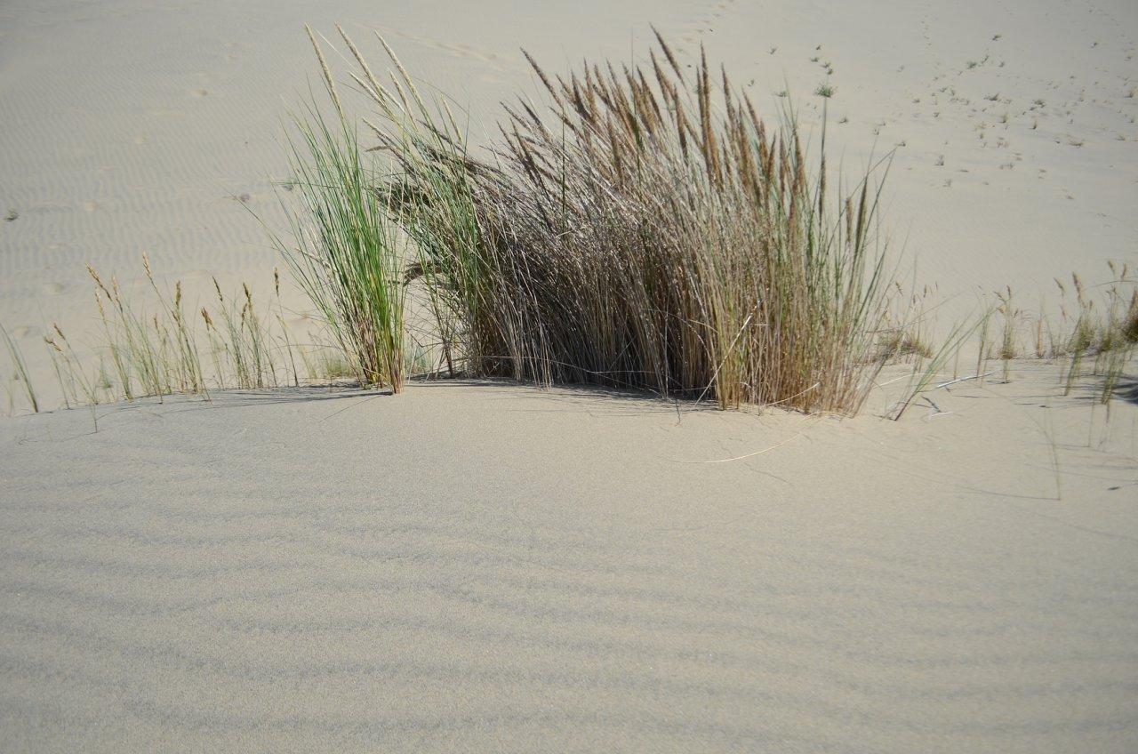 22 Dune grass.JPG