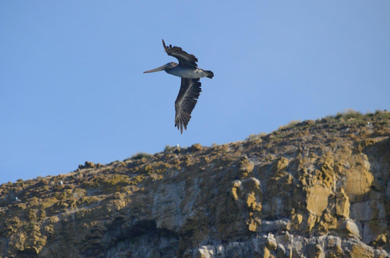 24 Brown pelican at Three Arch Rocks.JPG