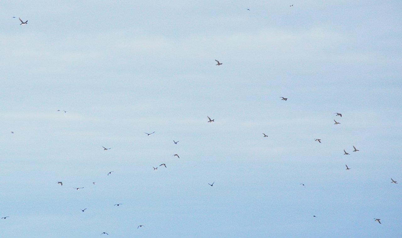 29 Sky full of murres at Three Arch Rocks.JPG