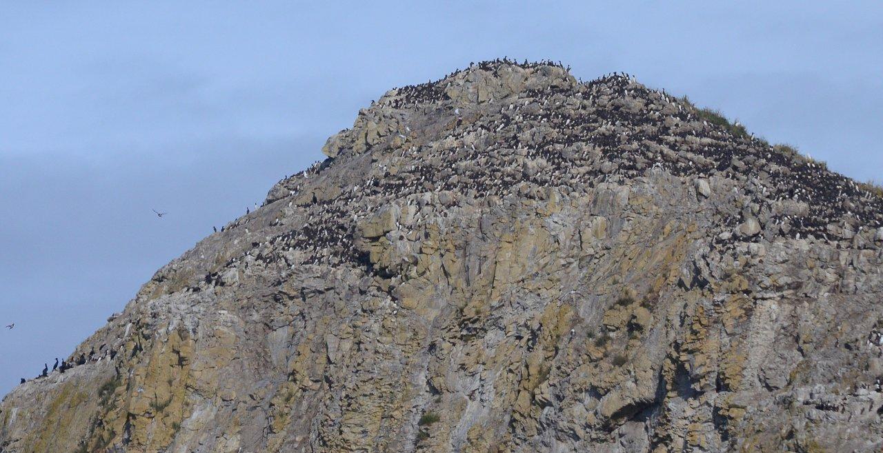 30 Murre colony on Shag Rock.JPG