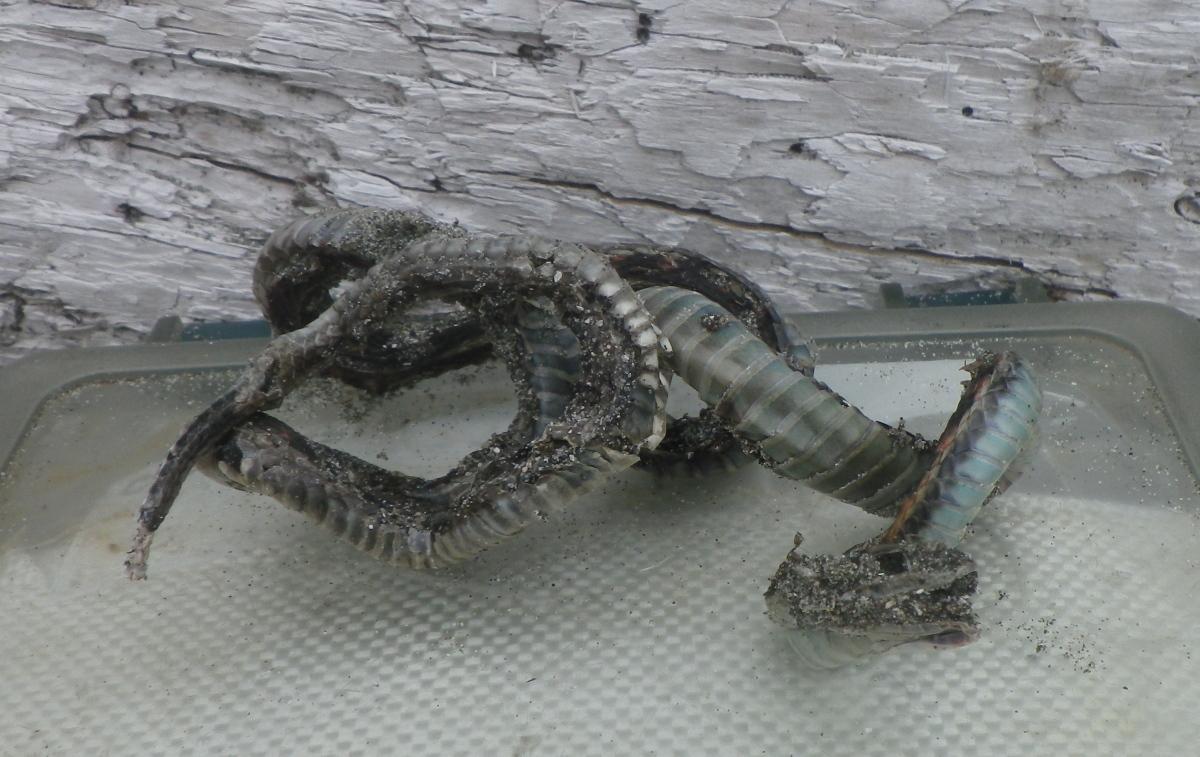 IMGP0166 untenated snakeskin.jpg