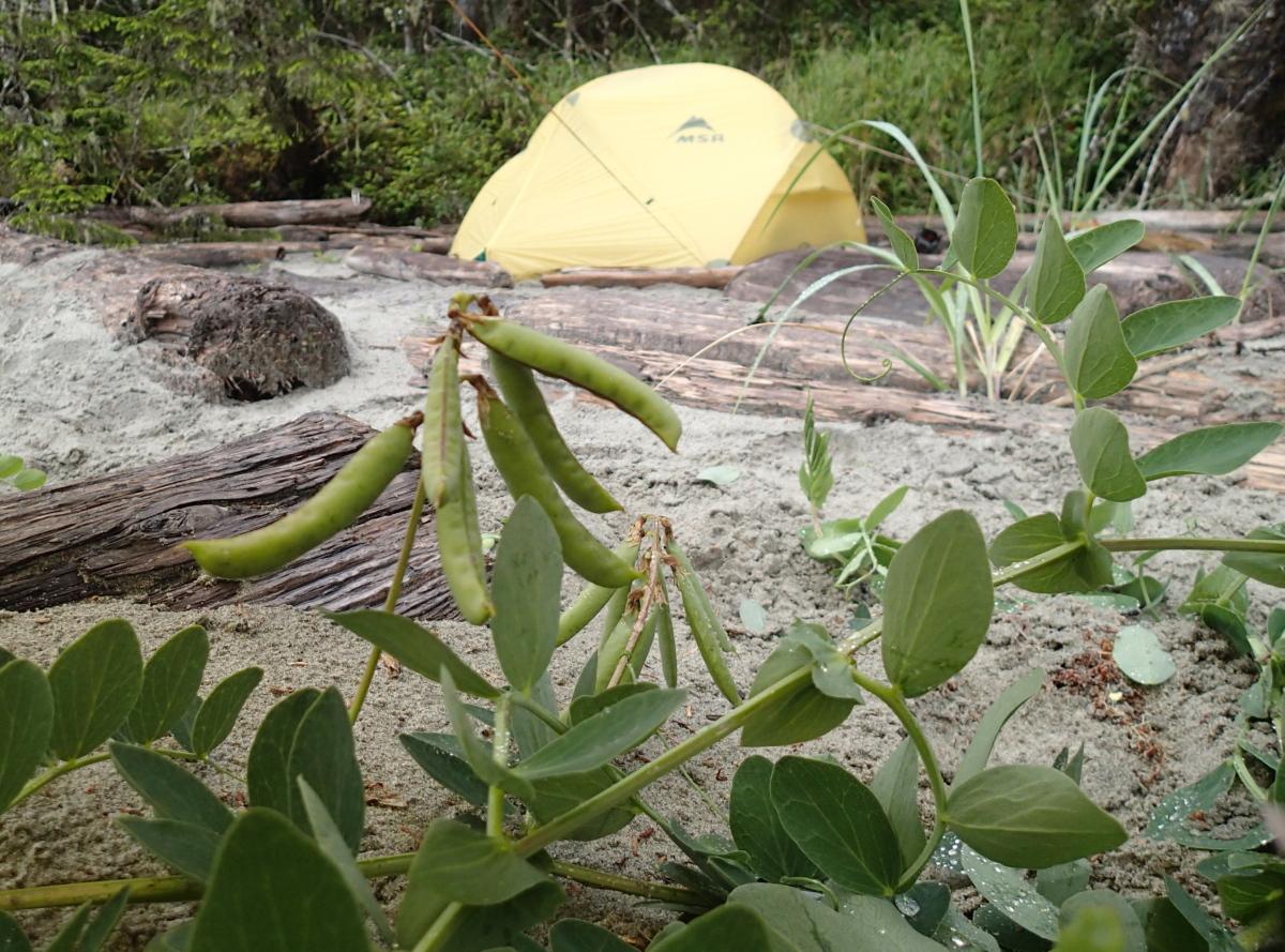 wild peas at Wolf Beach resized.jpg